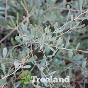 Low Boy Acacia Acacia Redolens Prostrata Treeland Nurseries