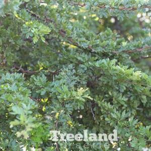Blackbrush Acacia Acacia Rigidula Treeland Nurseries