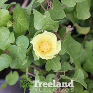 SAN MARCOS HIBISCUS (Gossypium harknessii) - Treeland Nurseries
