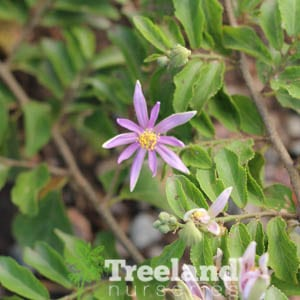... LAVENDER STARFLOWER (Grewia occidentalis). Previous; Next