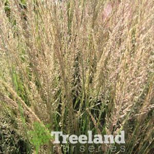 Common Deer Grass Muhlenbergia Rigens Treeland Nurseries