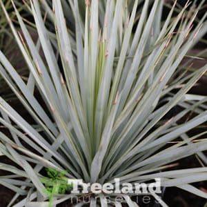 (Yucca rigida)
