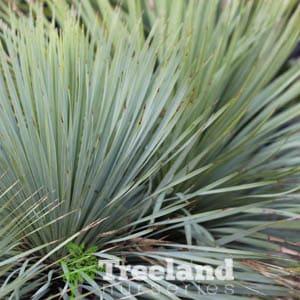 Yucca rostrata Y. 'thompsoniana'